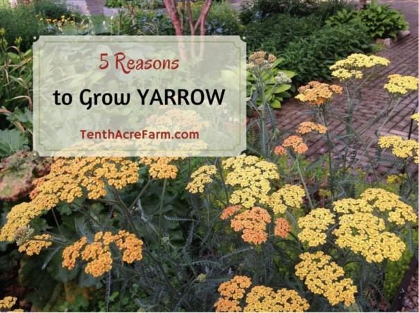 5-Reasons-to-Grow-Yarrow-800x600